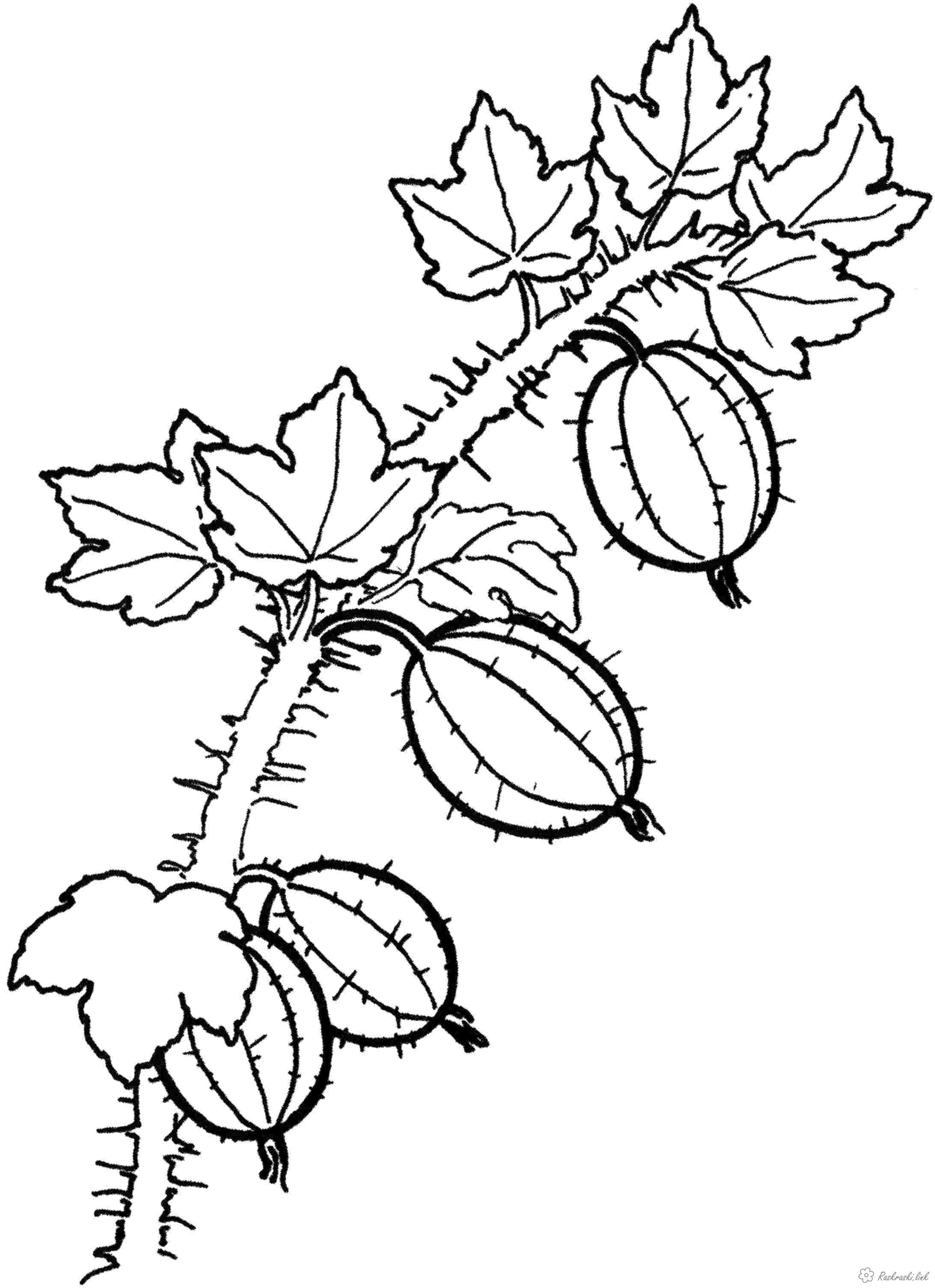 Coloring Berries кисло-сладкие, ягоды, крыжовник, раскраска детская