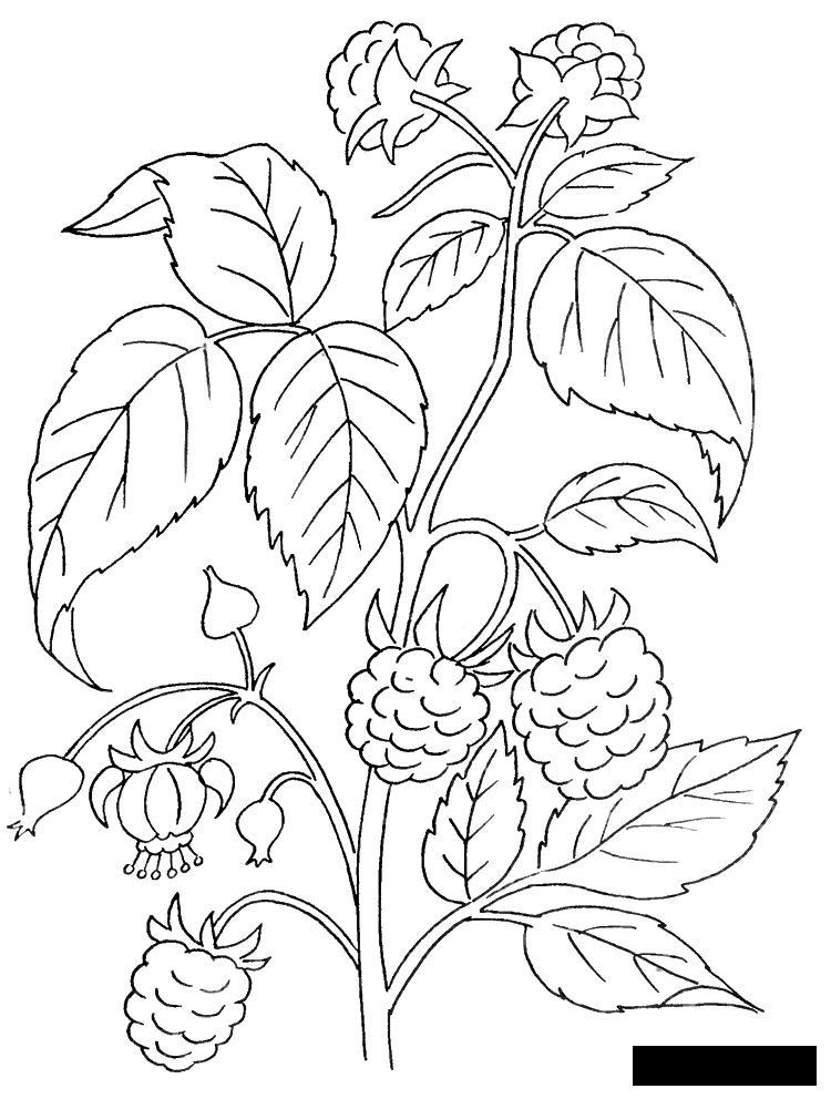 Coloring Berries Sweet, raspberry, plant, bush, berries