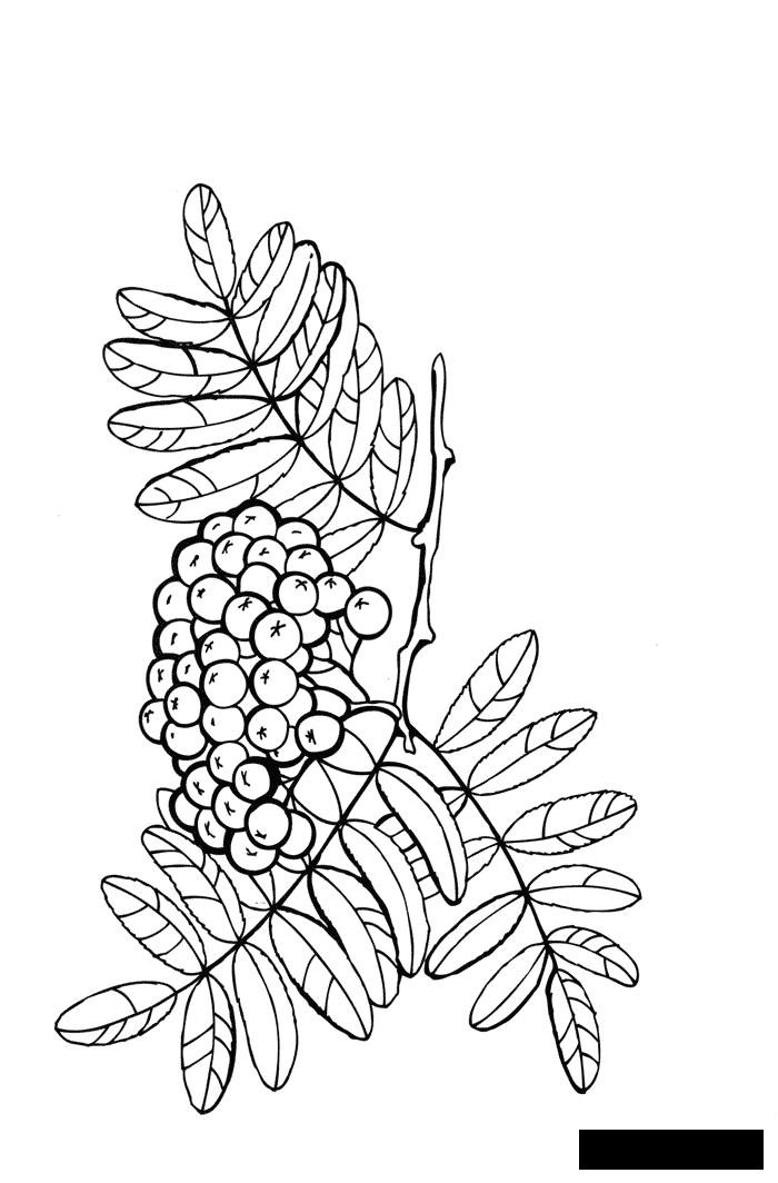 Coloring red Red, Rowan, growing berries, coloring pages, red