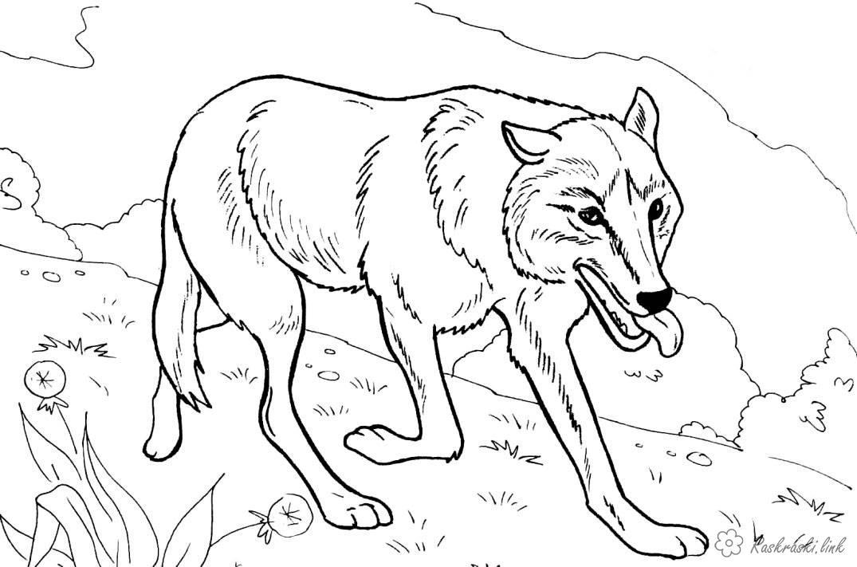 Розмальовки тлі Розмальовка, розфарбування тварини, дикі тварини, вовк, реалістичний вовк, ліс, вовк стоїть, дикий в...