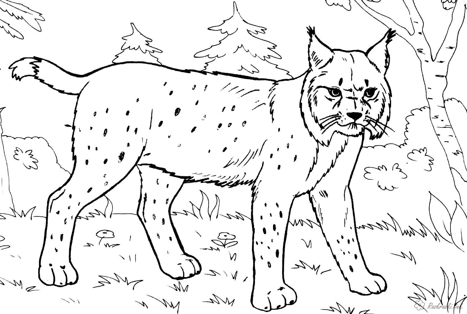Розмальовки тлі Розмальовка тварини, дикі тварини, розфарбування рись, дика кішка, ліс, реалістична розфарбування, р...