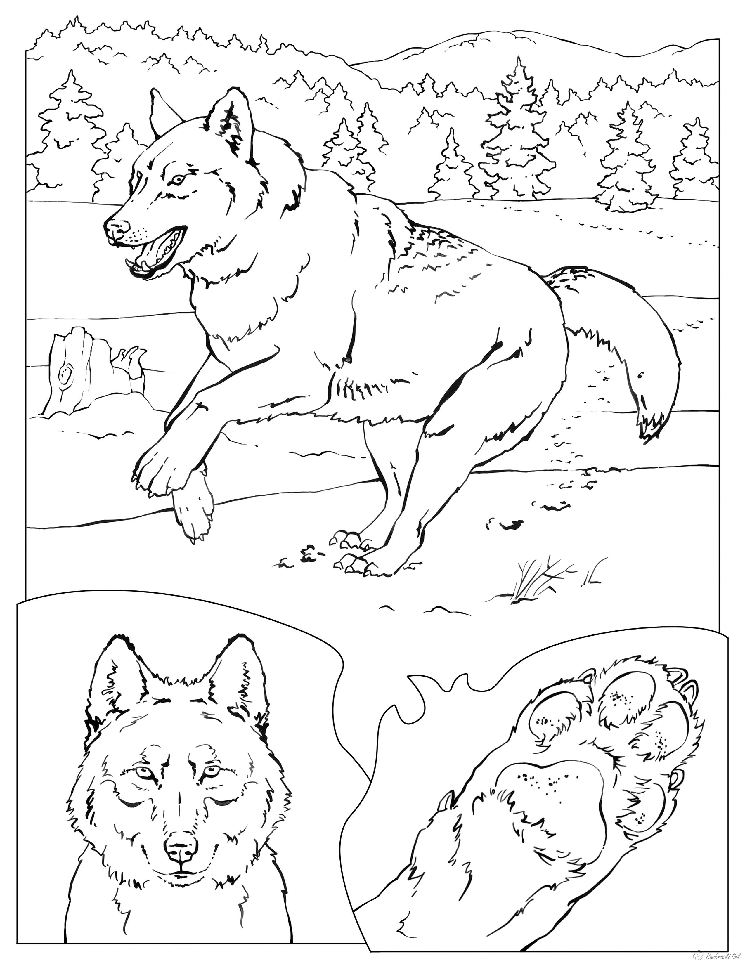 Розмальовки тлі Розмальовка тварини, природа, ліс, дикі тварини, розфарбування вовк, вовк біжить, голова вовка, лапа...