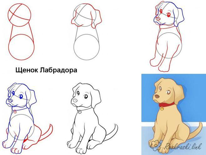 Coloring How to draw labrador puppy draw step by step
