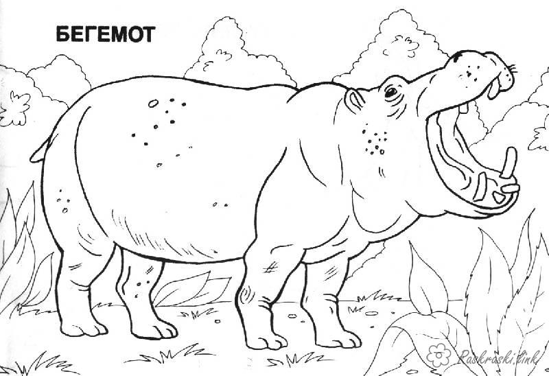 Coloring Africa coloring pages, hippopotamus, africa, animals
