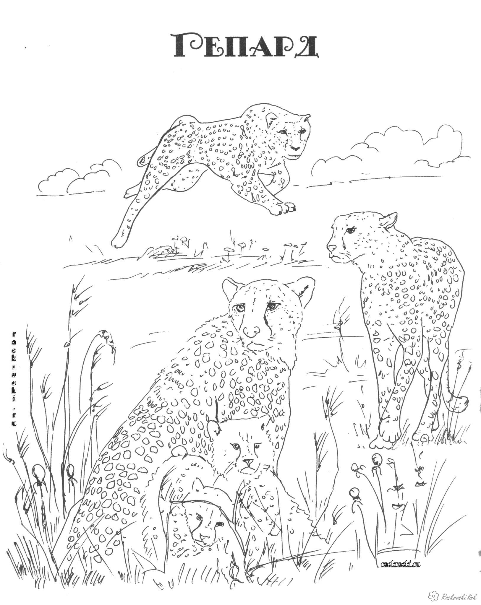 Coloring Africa Cheetah, coloring pages, Africa