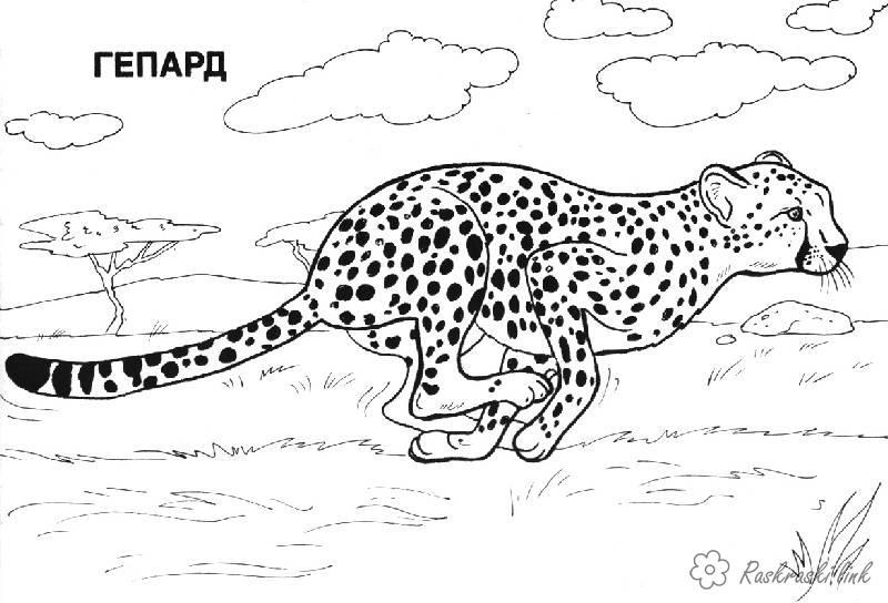 Розмальовки Африка розмальовки для дітей, тварини, Африка, гепард