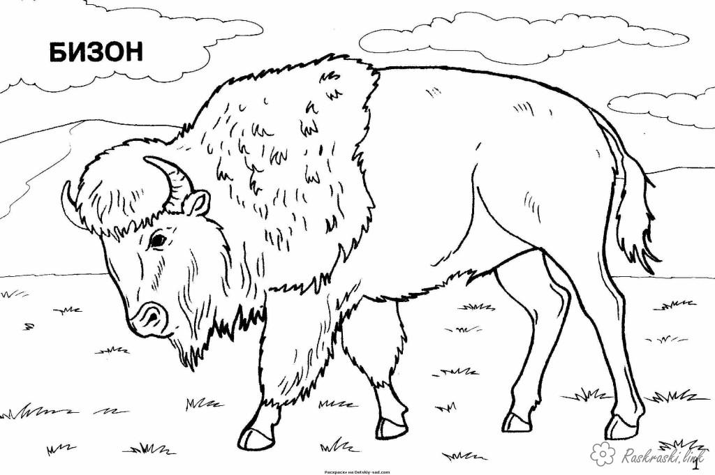 Coloring North America coloring pages books for children, animals, North America, bison