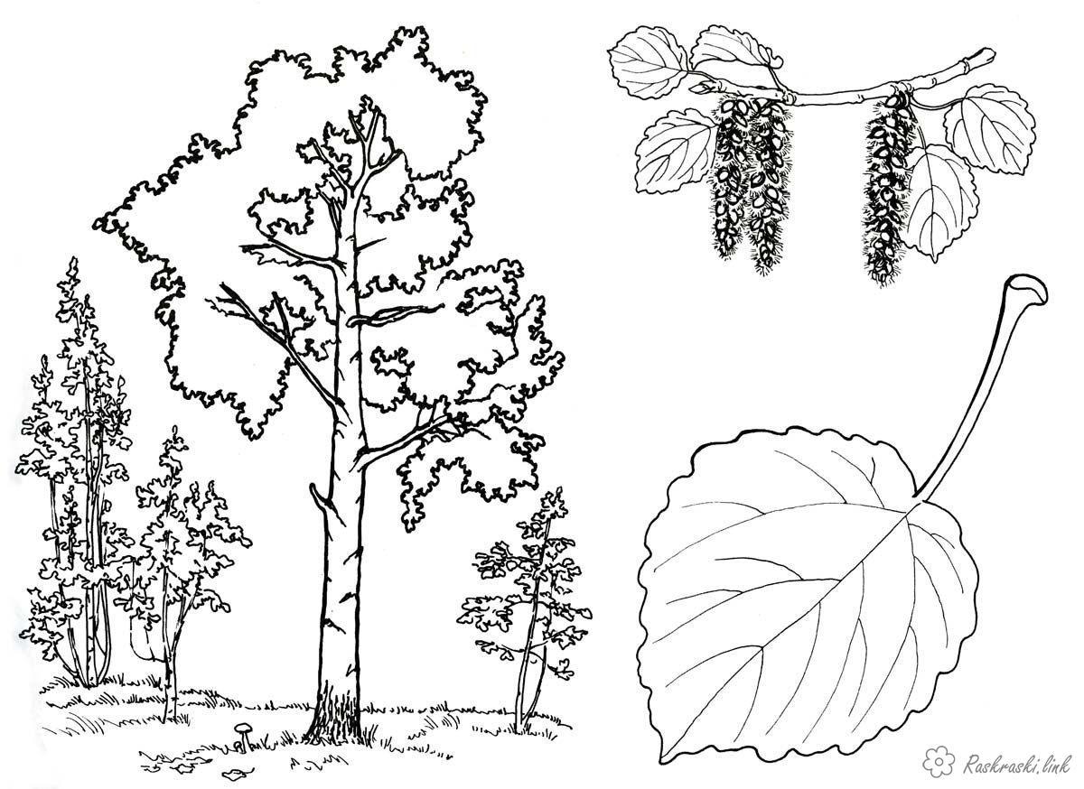 Раскраски лист Березовая роща, береза, лист