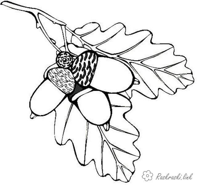 Розмальовки гілка Дуб, жолуді