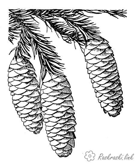 Розмальовки гілка Ялина, гілка, шишки