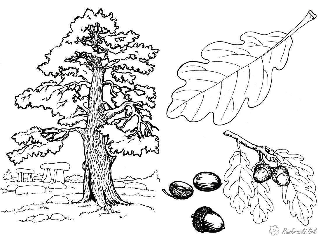 Розмальовки жолуді Дерево, дуб, жолуді, лист