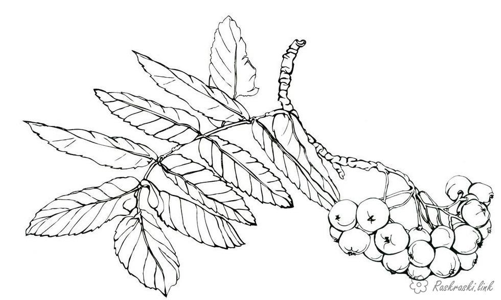 Розмальовки гілка Горобина, гілка, ягоди, лист