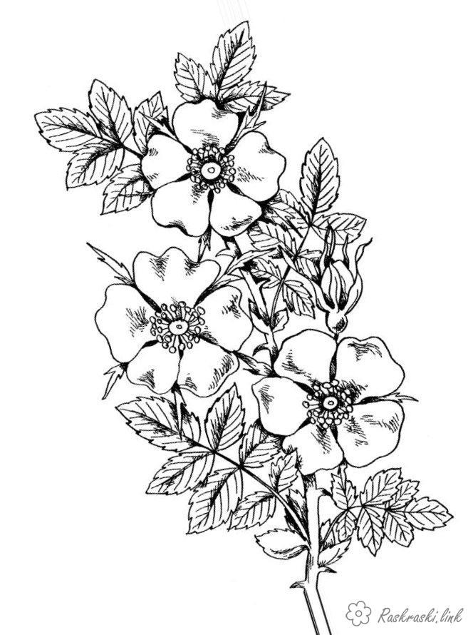 Розмальовки гілка Шипшина, гілка, квіти