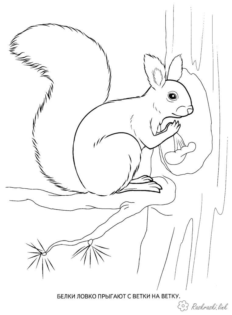 Розмальовки білочка розмальовки, білочка, дикі звірі, для дітей