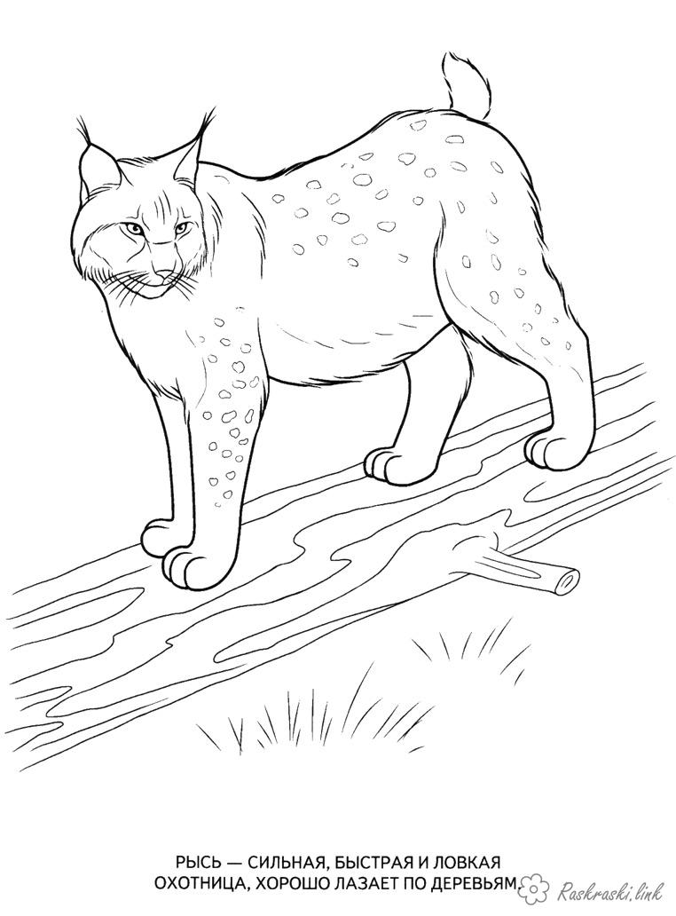 Coloring Forest animals coloring pages for kids, wild animals, lynx, wood, timber