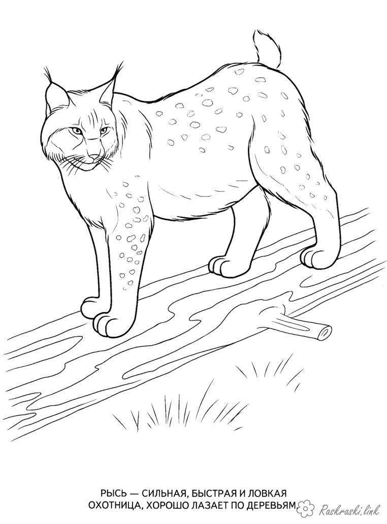 Розмальовки ліс Розмальовка для дітей, дикі тварини, рись, дерево, ліс