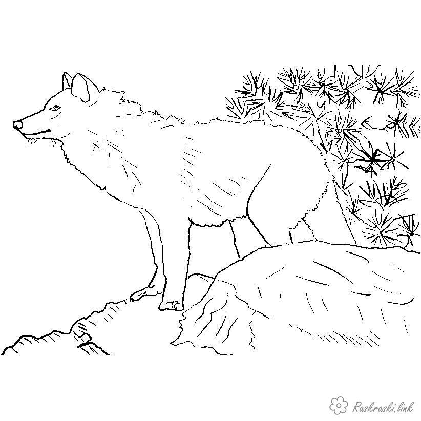 Розмальовки вовк розмальовки для дітей, вовки, тварини. хижаки