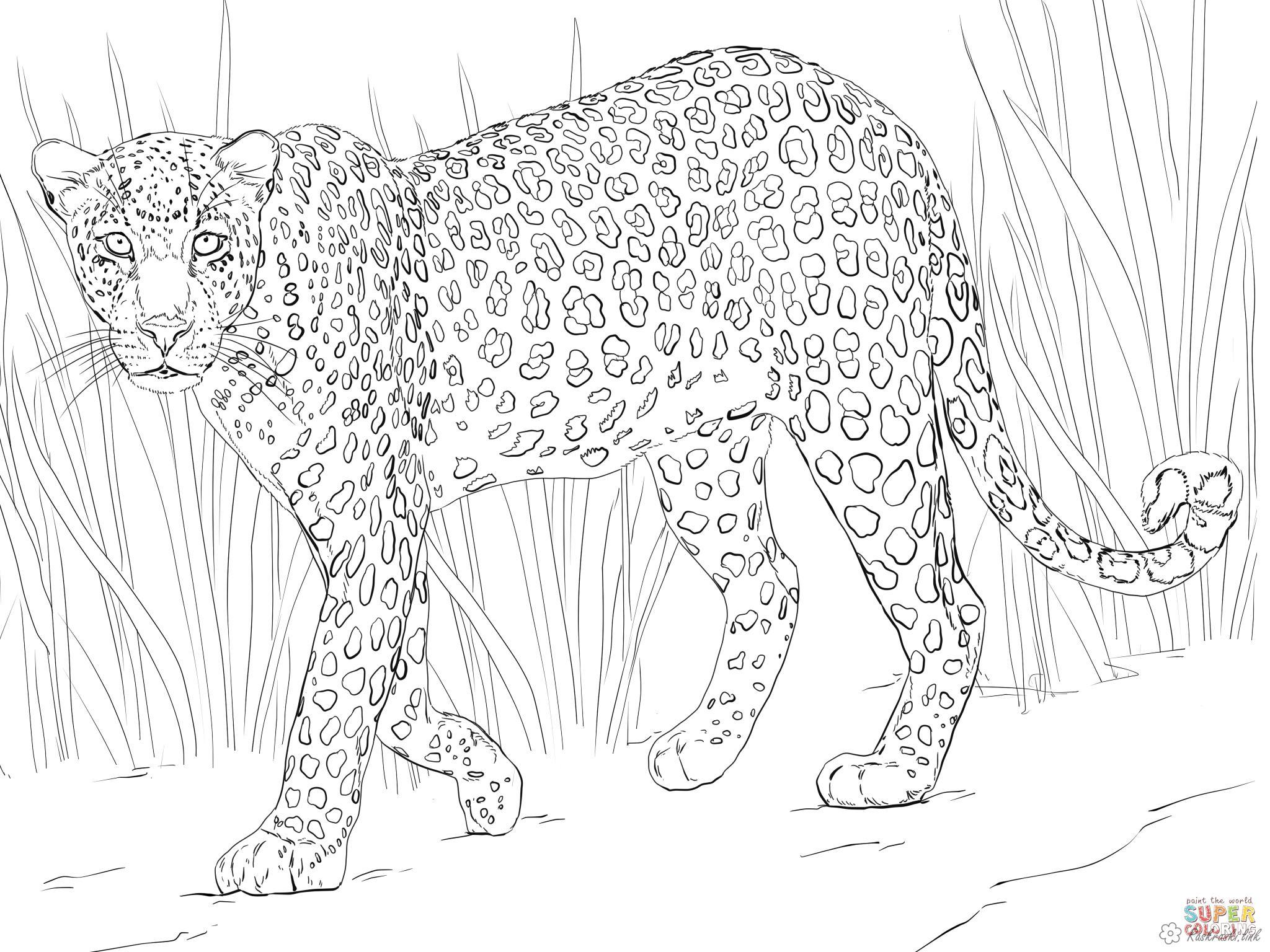 Раскраски грозный раскраски леопард, трава, дикая кошка, хищник