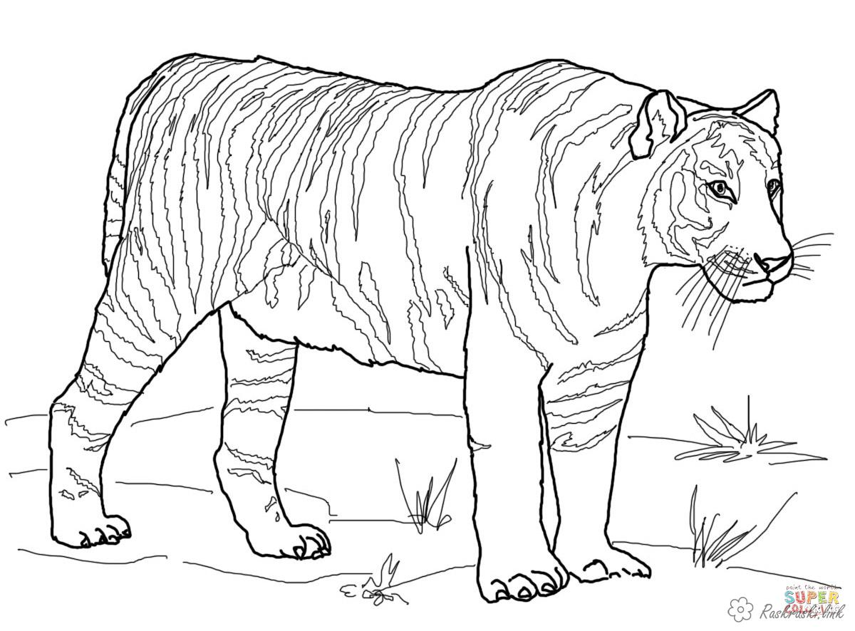 Coloring Tiger coloring pages Bengal tiger, wild animals,