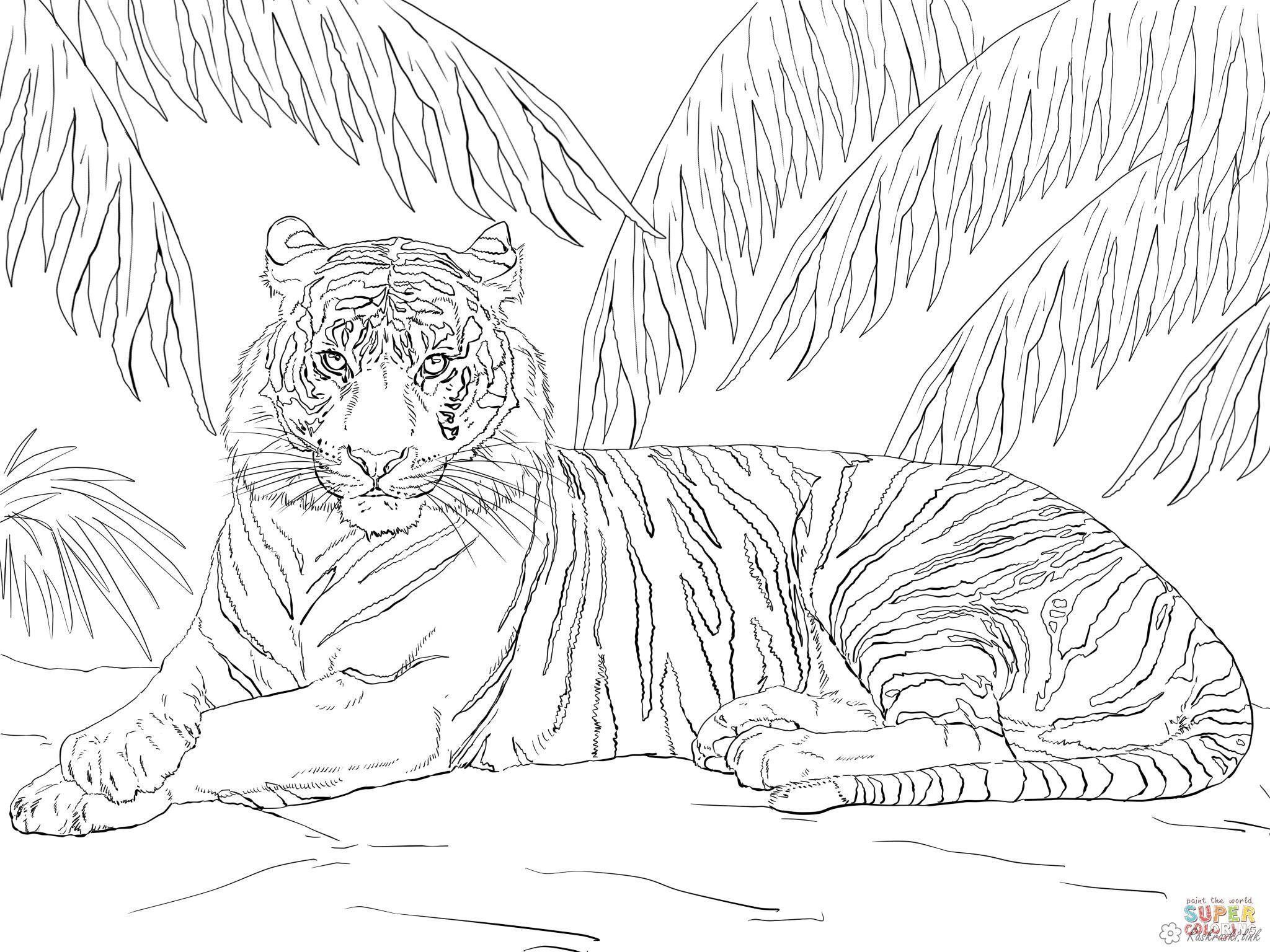 Раскраски дикие раскраски тигры, деревья, ель, природа, хищное животное