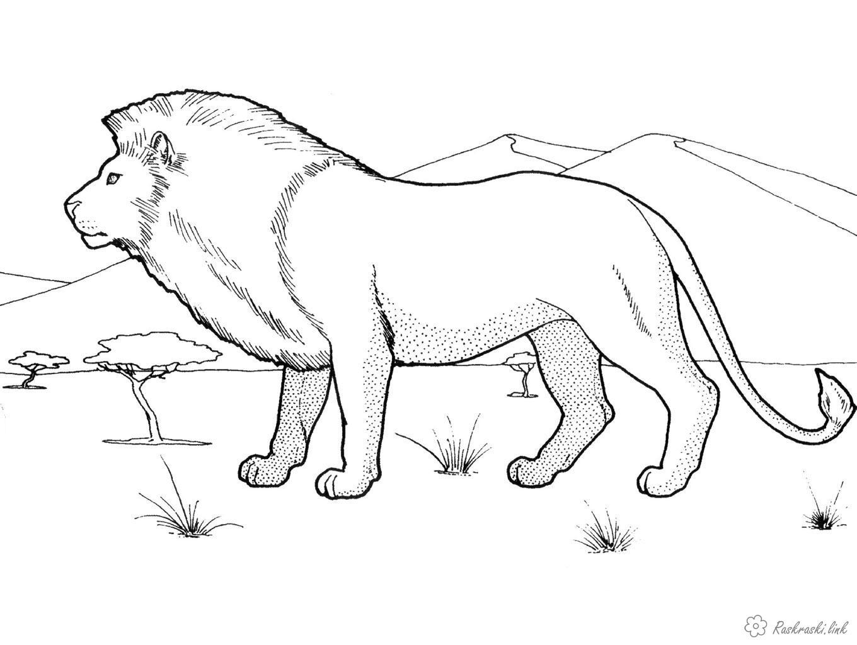 Раскраски природа лев в гуляет по саванне