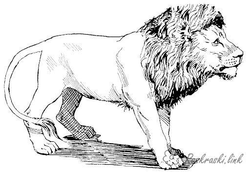 Раскраски лев раскраски львов, хищник, дикие животные