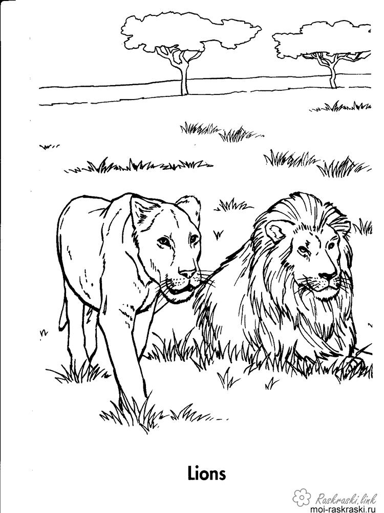 Розмальовки Лев леви. полювання, савана, дерева, савана