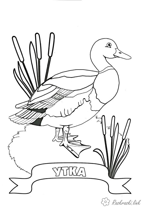 Coloring Duck coloring pages ducks, for children, the grass, the inscription