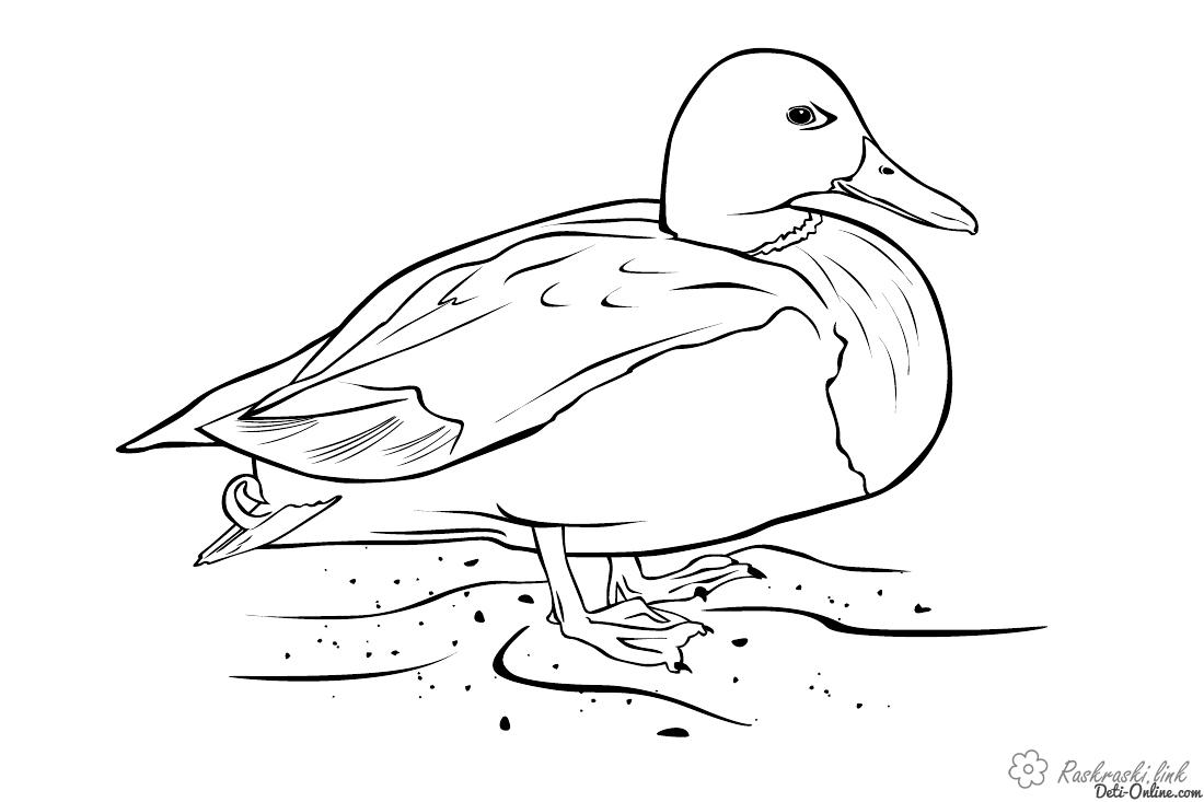 Coloring Duck coloring pages duck, pets, children