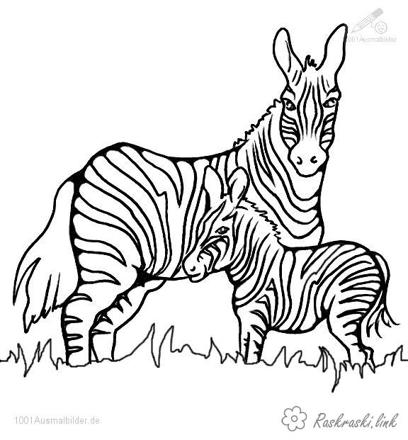 Coloring Zebra zebra, zebrenok, nature, grass