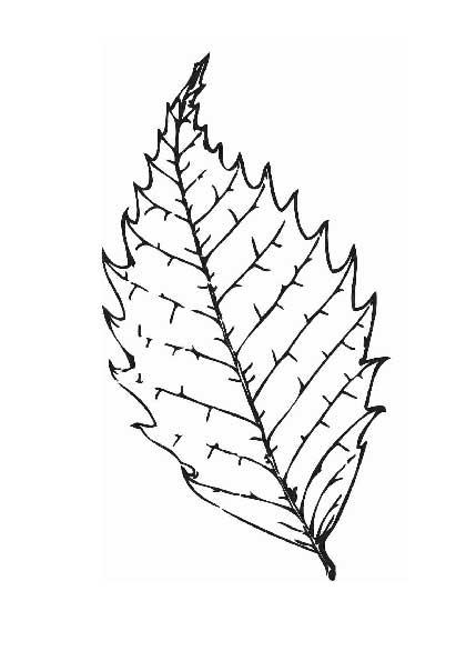 Coloring The leaves of trees elm leaf