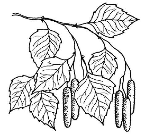 Розмальовки гілка листя берези і насіння