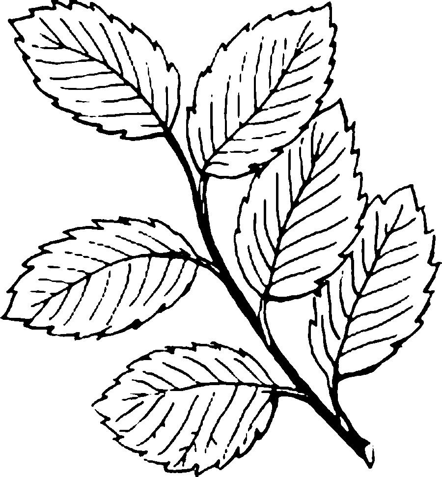 Розмальовки гілка гілка куща з листям