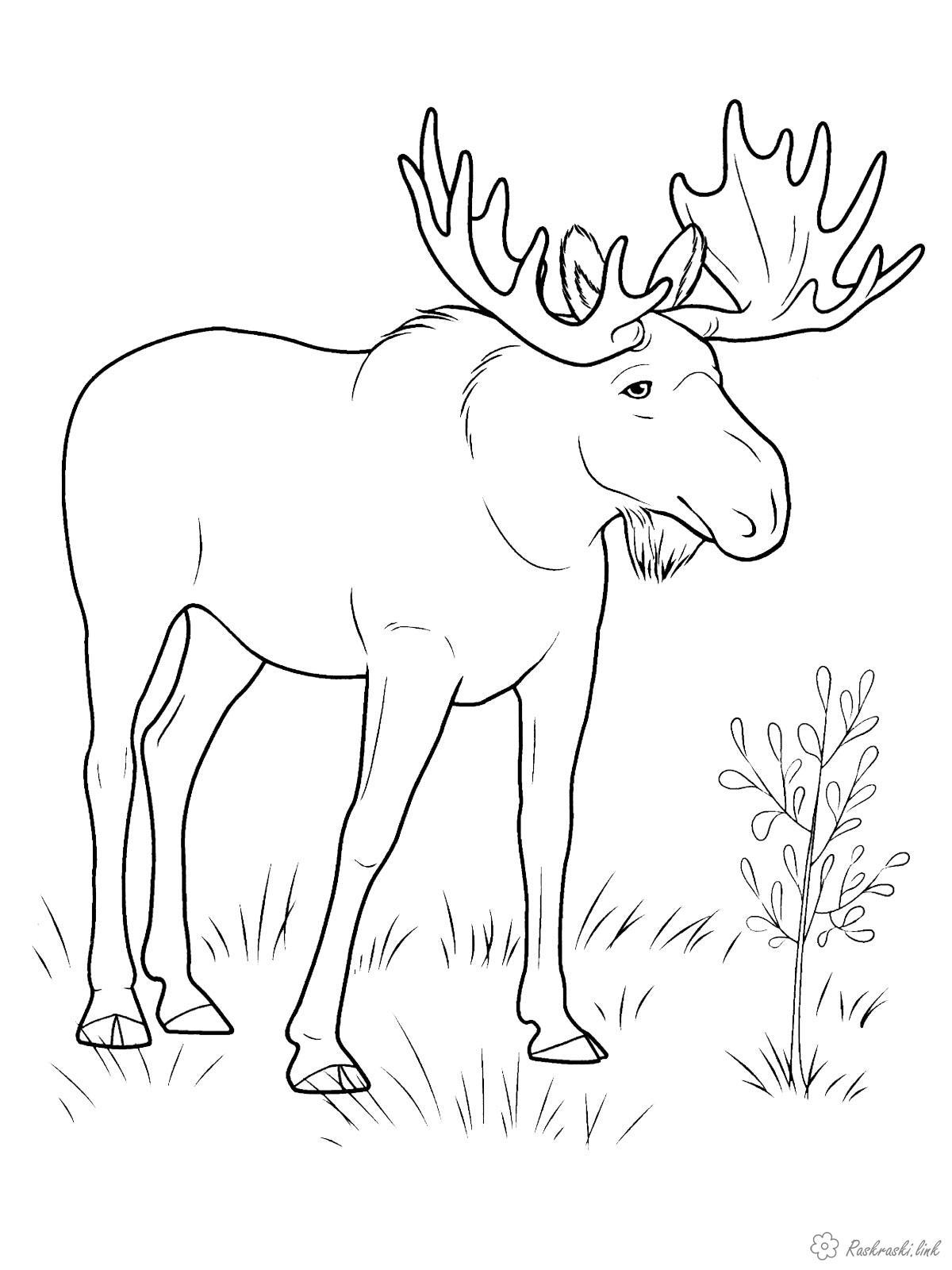Розмальовки тварини Розмальовка лось, лісові тварини, дикі тварини, травоїдні, роги
