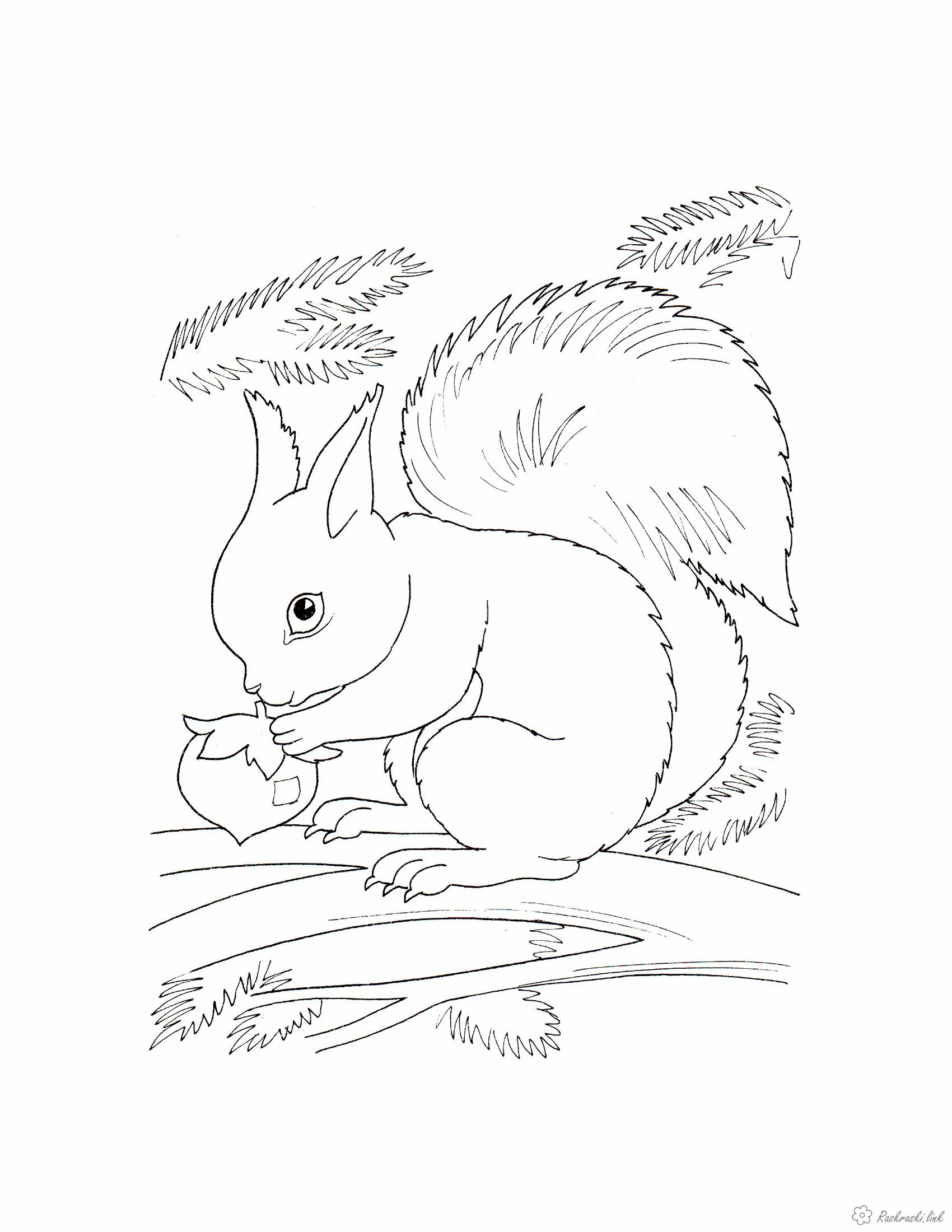 Розмальовки білочка Розмальовка тварини, дикі тварини, білочка, розфарбування білочка, білочка гризе горіх, білочка на д...